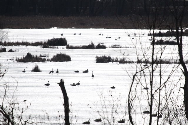 Canada Geese in marsh at Braham Tract