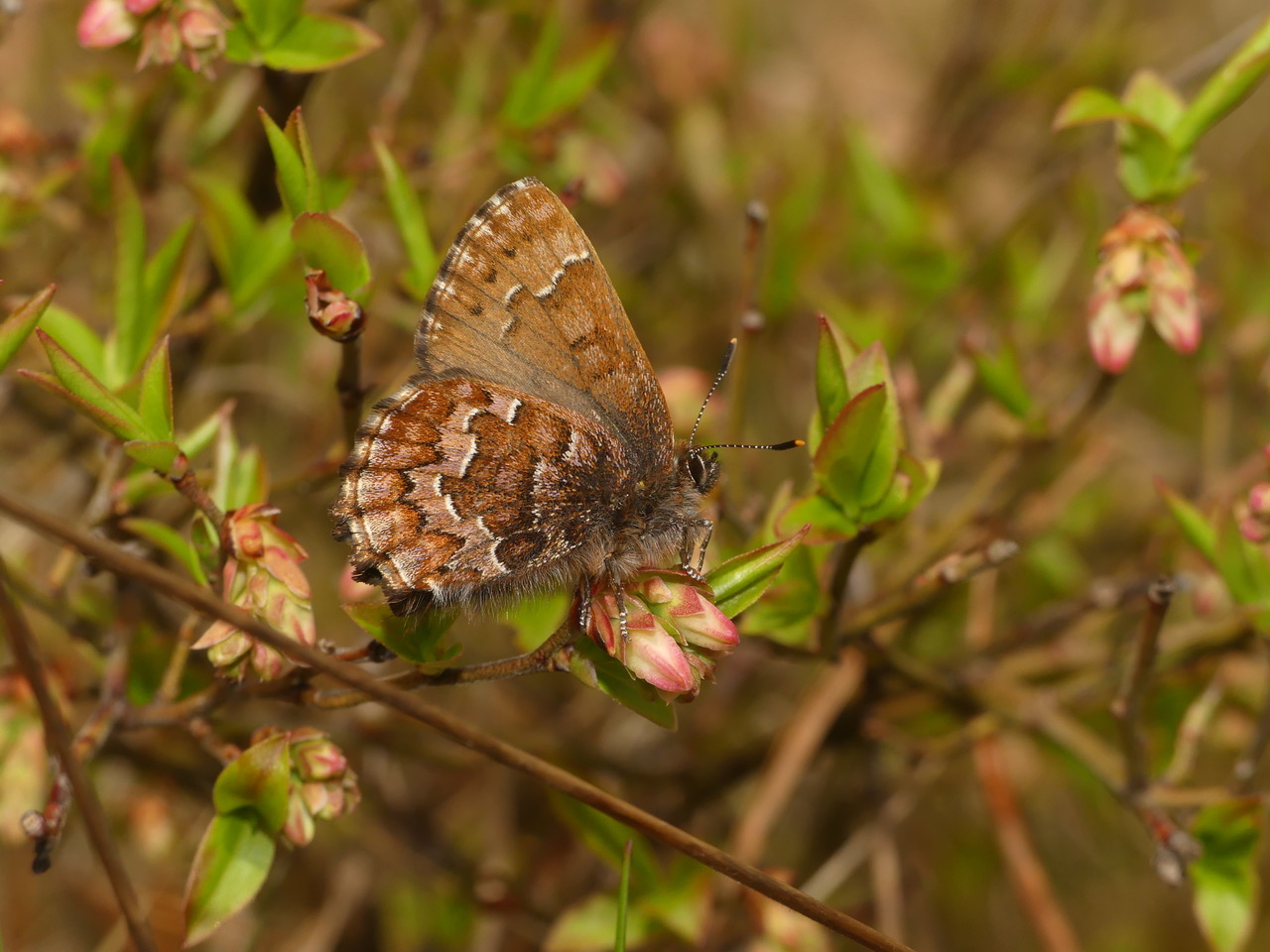 butterfly Callophrys niphon