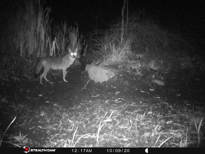 trail camera photo of coyote at Braham Tract
