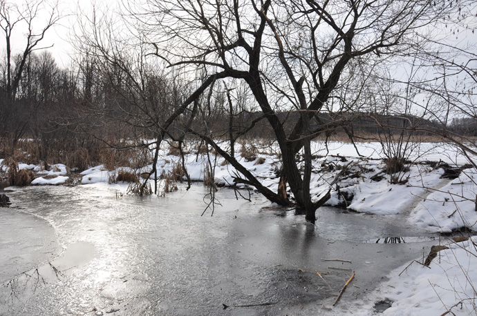 Willow tree and beaver dam at Lone Pine Marsh.