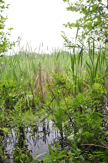 Ferns and cattails on the edge of the marsh (Braham Tract, Jun 11, 2016). (credit: Dalila Seckar)
