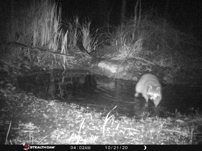 trail camera photo of racoon at Braham Tract